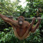 Malaysia Borneo Sepilok Park Orangutan